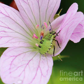 Green Shield Bug Perfect in Pink by Jackie Tweddle