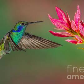 Green Violetear Hummingbird by Jerry Fornarotto