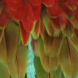 Judy Whitton - Green-winged Macaw #2