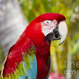 Green Winged Macaw Ara chloropterus by Sharon Mau