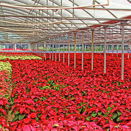 HH Photography of Florida - Greenhouse Poinsettias