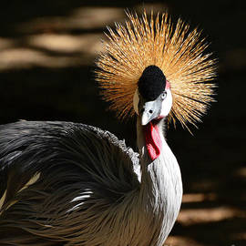 Kathy Baccari - Grey Crowned Crane