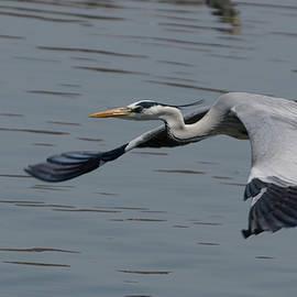 Mihir Joshi - Grey Heron in flight