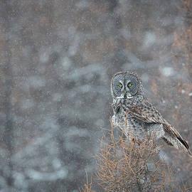 Grey In Snow by Robert L Moffat