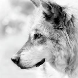 Athena Mckinzie - Grey Wolf Close Up
