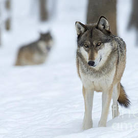 Grey Wolf In Snow With Wolf In Distance by Dan Friend