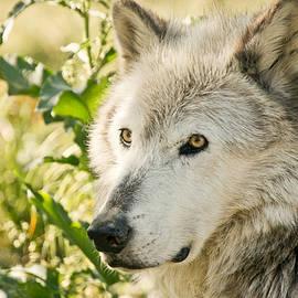 Athena Mckinzie - Grey Wolf In Springtime