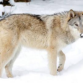 Athena Mckinzie - Grey Wolf In Winter