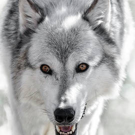 Wes and Dotty Weber - Grey Wolf Stalk
