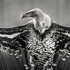 Griffon Vulture by Don Johnson