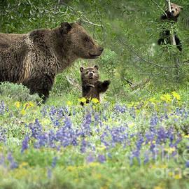 Wildlife Fine Art - Grizzlies in Pilgrim Creek