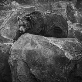 Grizzly Bear Relaxing On A Cliff by Ray Van Gundy