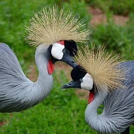 Richard Bryce and Family - Grooming East African Crown Crane Mates