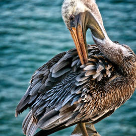 Grooming Session, California Brown Pelican by Flying Z Photography by Zayne Diamond