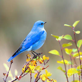 Adam Jewell - Gros Ventre Bluebird