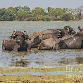 Group of buffaloes in  a lake by Patricia Hofmeester