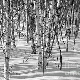 Alana Ranney - Group of White Birches