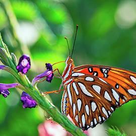 Gulf Fritillary Butterfly by Brad Boland