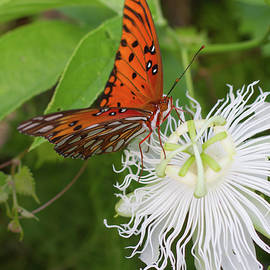 Gulf Fritillary On White Passionflower by Paul Rebmann