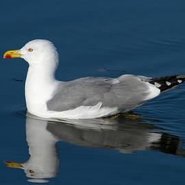 Gull on the lake by Elenarts - Elena Duvernay photo