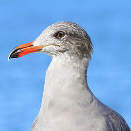 Gull Profile by Shoal Hollingsworth