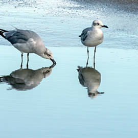Laughing Gulls Drinking Party by Brian Wallace