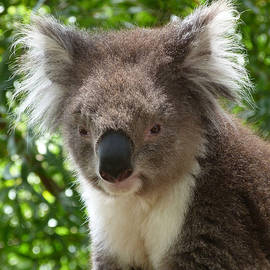 Margaret Saheed - Handsome Male Victorian Koala