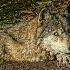 Haliburton Wolf - Just'a Chill'n by Dave  by Photography By Phos3 Kathryn Parent and Dave Paddick