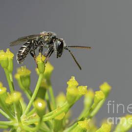 Jivko Nakev - Halictid bee - Lasioglossum discum