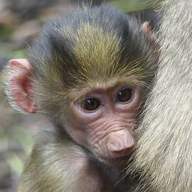 Hamadryas Baby Baboon Resting  by Margaret Saheed