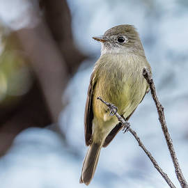 Hammond's Flycatcher Perched by Morris Finkelstein