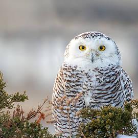 John Vose - Hampton Beach NH Snowy Owl