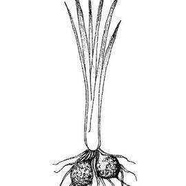 Iam Nee - Hand Drawn of Tigernut Plant on White Background