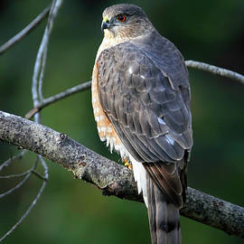 Handsome Sharp Shinned Hawk by Tina LeCour