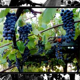 Dorothy Berry-Lound - Hanging Grapes