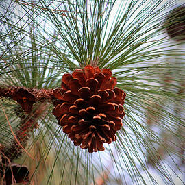 Hanging  Pine Cone by Cynthia Guinn