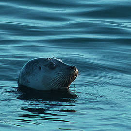 Morgan Wright - Harbor Seal