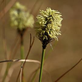 Hare's-tail Cottongrass 1 by Jouko Lehto