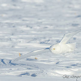 Snowy owl by Gina Levesque