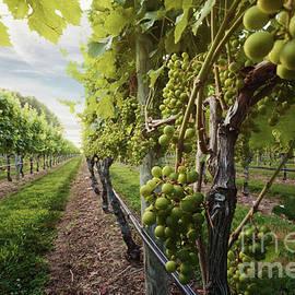 Harmony Vineyard Stony Brook New York by Alissa Beth Photography