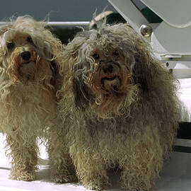 Havanese dogs by Sally Weigand