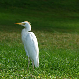 Hawaiian Cattle Egret by Maria Keady