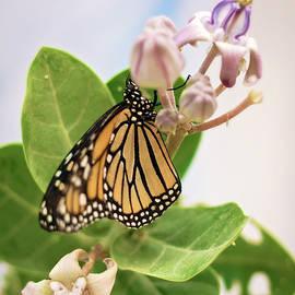 Hawaiian Monarch by Heather Applegate