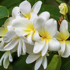Hawaiian White Plumeria by Morris Finkelstein
