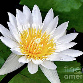 Hawaiian White Water Lily by Sue Melvin