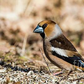Torbjorn Swenelius - Hawfinch