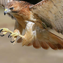Hawk Attack by Ronnie and Frances Howard