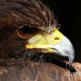 Hawk Intensity by Sue Harper