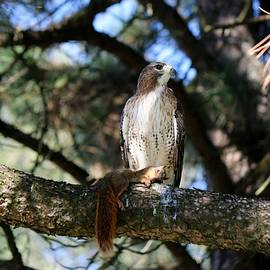 Hawk With Squirrel  by Christy Pooschke