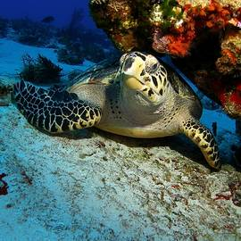 Hawsbill Turtle Under Ledge by Brent Barnes